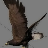 Animal Eagle Bird Hunting Goshawk Attacks On Free 3dmax Model Of Glider Flight
