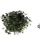 European Cranberry Bush