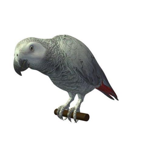 Grey Wild Parrot