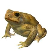 Canetoad Frog