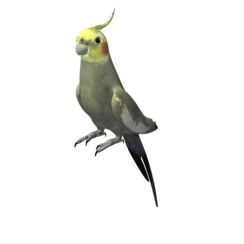 Australian Cockatiel Bird
