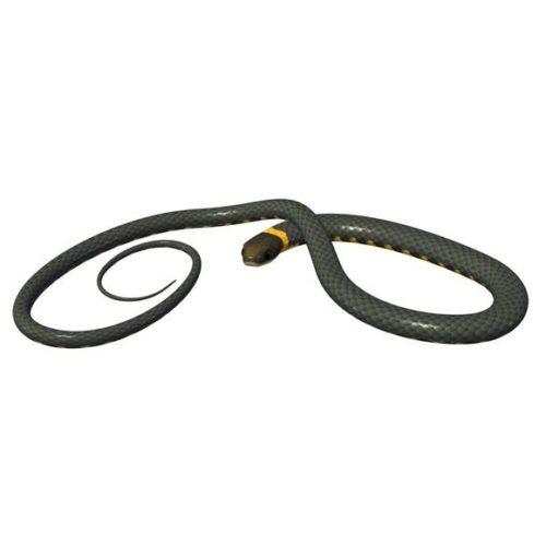 Ring-neck Snake