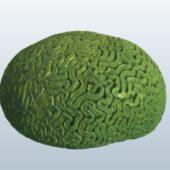 Nature Brain Coral