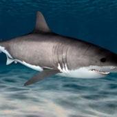 Animal Great White Shark