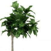 Dwarf Ornamental Green Tree