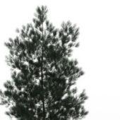 White Spruce Nature Tree