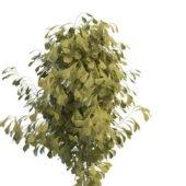 Green Ginkgo Tree