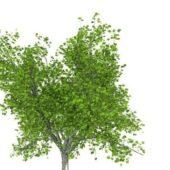 Green Sugar Maple Tree