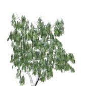 Wild Betula Tree