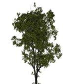 Nature American Elm Tree