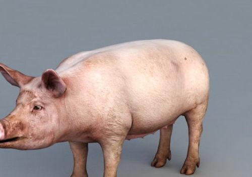 Domestic Pig Realistic