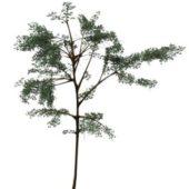 Green Acacia Thorn Tree