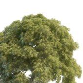 Nature Acer Palmatum Tree