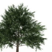 Acer Platanoides Green Tree