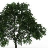 American Buckeye Tree Plant