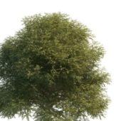 American Green Elm Tree
