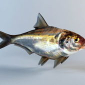 Shad Fish Animal