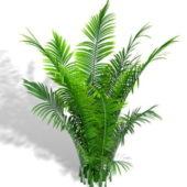 Garden Areca Palm
