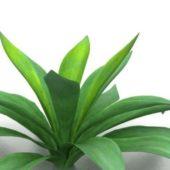 Garden Aspidistra Plant