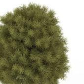 Green Bald Cypress Tree