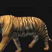 Wild Bengal Tiger Animation