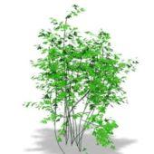 Garden Bermuda Maidenhair Plant