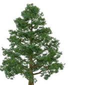 Bhutan Cypress Green Tree