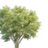 Beauty Big Oak Tree
