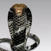 Nature Wild Black Cobra Snake