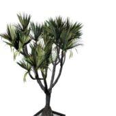 Indoor Bonsai Potted Hoop Pine