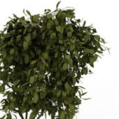 Green Boxwood Shrub Plant
