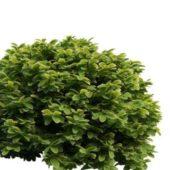 Boxwood Spheres Hedge