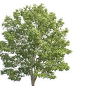Nature Britain Lime Tree