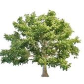 Canadian Big Maple Tree