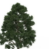 Cappadocian Maple Green Tree