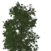 Nature Castanea Sativa Tree