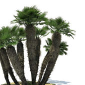 Chamaerops Humilis Tree