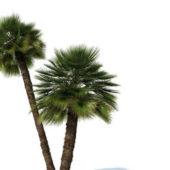 Chamaerops Humilis Palm Tree