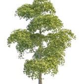 Asia Necklace Poplar Tree