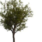 Green Chinese Scholar Tree