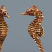 Common Seahorse Animal