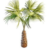 Copernicia Garden Palm Tree