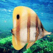 Animal Copperband Butterfly Fish