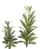 Green Cordyline Glauca Plant