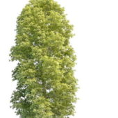 Cypress Pine Tree