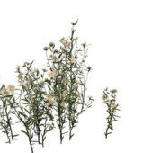Garden Daisy Flower Plants