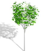 Plant Ornamental Tree