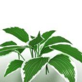 Garden Dieffenbachia Plant