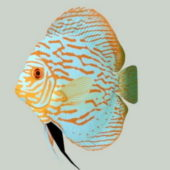Discus Fish Animal
