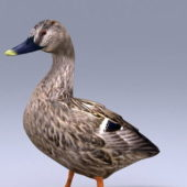 Domestic Duck Animal
